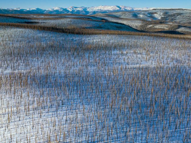 En aktiv skogskjøtsel og klimatilpasning kan være nødvendig for å hindre storskala endringer i karbonlageret i skog.  Her fra «mountain pine beetle» angrepet furuskog nær Wolf creek i Colorado, trolig forårsaket av en kombinasjon av varmere klima og stor andel hogstmoden skog. Foto: Peter Essick