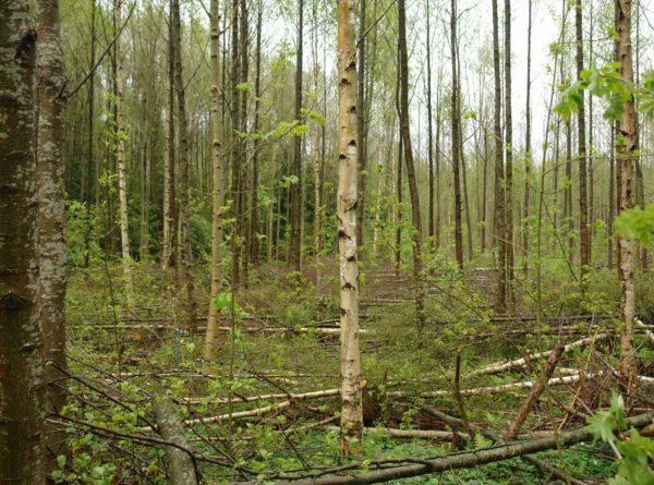Avstandsregulering i løvskog