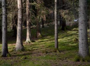 Mer gammel skog