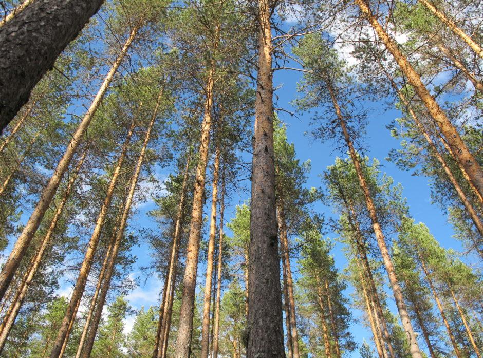 Tynnet furuskog. Gjennom aktiv skjøtsel av skog kan man øke andelen av tømmeret som kan brukes i byggenæringen og erstatte mer klimabelastende materialer. Foto Hans Asbjørn K. Sørlie