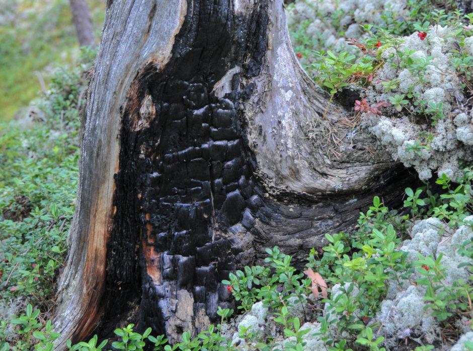 Gammel «brent stubbe»  i naturreservat, vernet gjennom ordningen frivillig vern.
