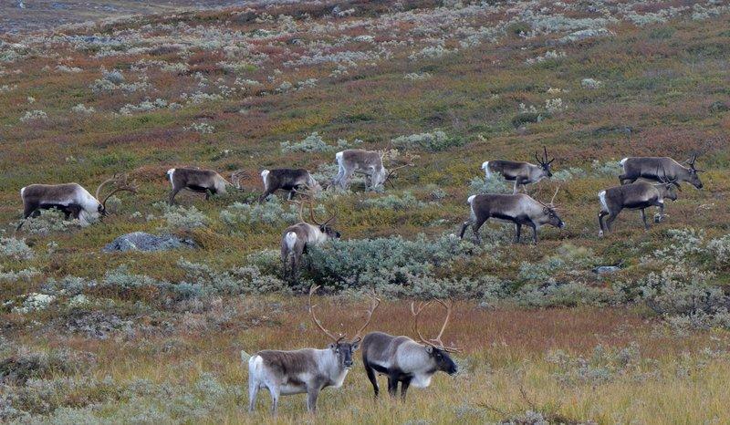 74 000 dyr er testet for skrantesjuke siden mai 2016. Tallet innbefatter tamrein, villrein, egl, rådyr og hjort.  Illustrasjonsfoto: villrein av Norefjellsstammen. Foto: Anders Hals