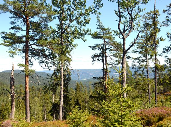 Livsløpstrær er et sentralt begrep i dagens skogbruk – jf. kravpunkt 12 i Norsk PEFC Skogstandard. Her er de spart som ei gruppe bestående av eldre trær (osp, furu, gran m.m.) og noen understandere.