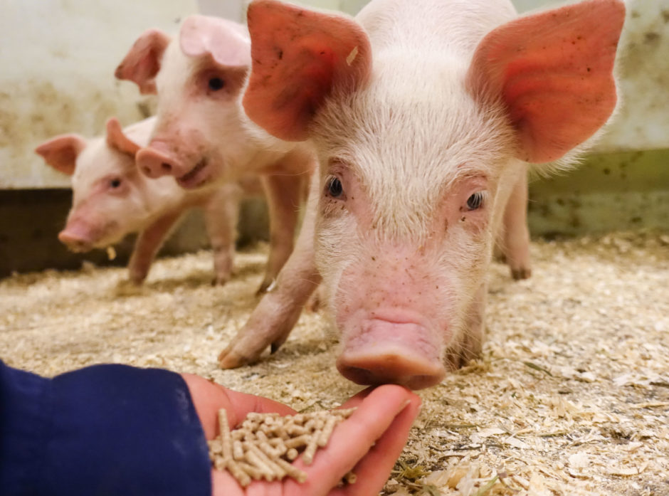 FRA FLIS TIL GRIS: Grisene som er med i fôrprosjektet til Foods of Norway har fått smaken på den nye maten. Her spiser de fôr basert på flis.