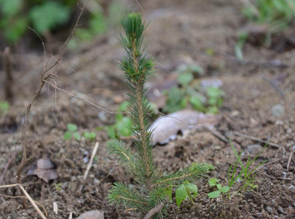 Det er plantet 6000 dekar med ny skog i pilotprosjektet. Foto: Åsmund Lang