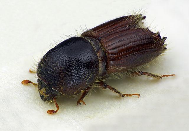 Den store granbarkbillen (Ips typographus) regnes fortsatt som den farligste billearten.