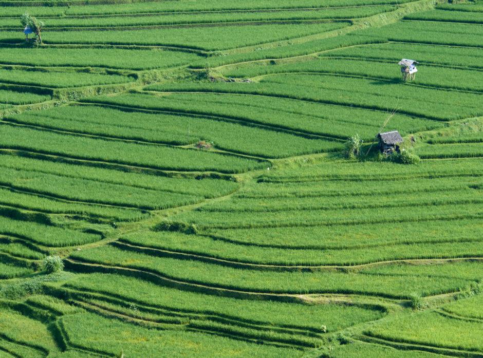 paddy rice field bali