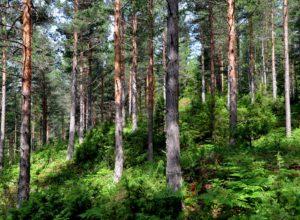 Norge har et spesielt ansvar for de oseaniske skogtypene