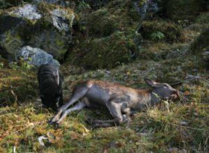 Kalver blir fritt vilt i hjortejakta