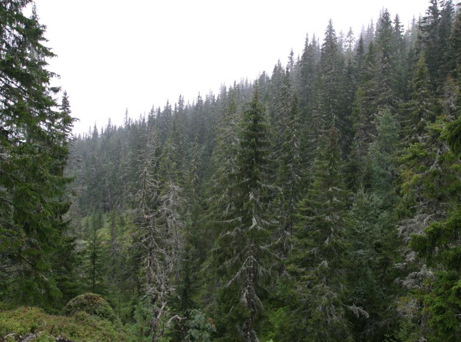 Nye retningslinjer for avveiningen mellom skogvern og skogbruk