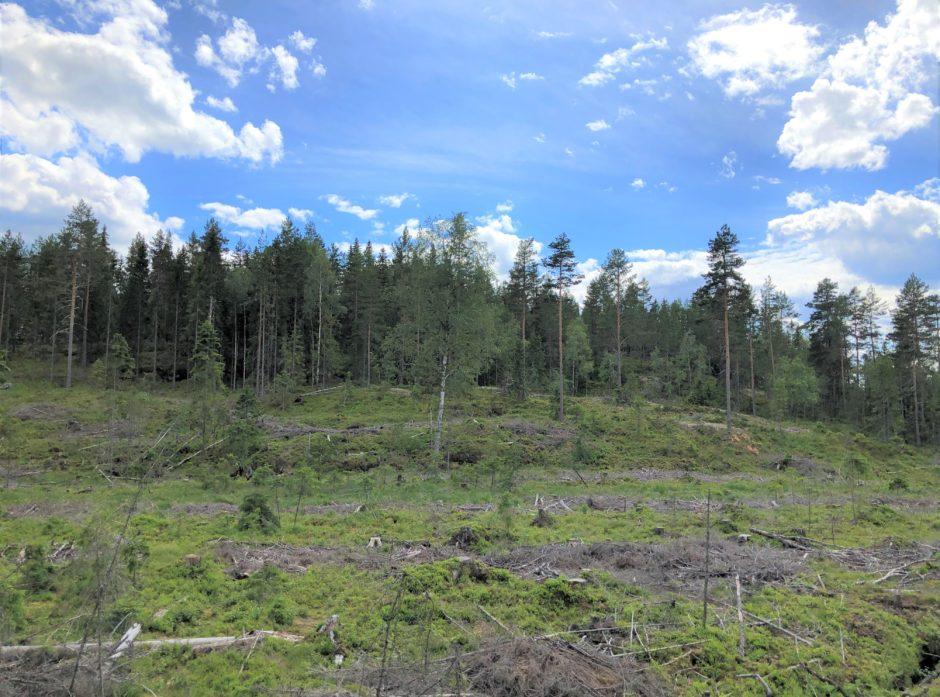 Ved en flatehogst hogges de fleste trærne på flata, deretter plantes det på nytt.